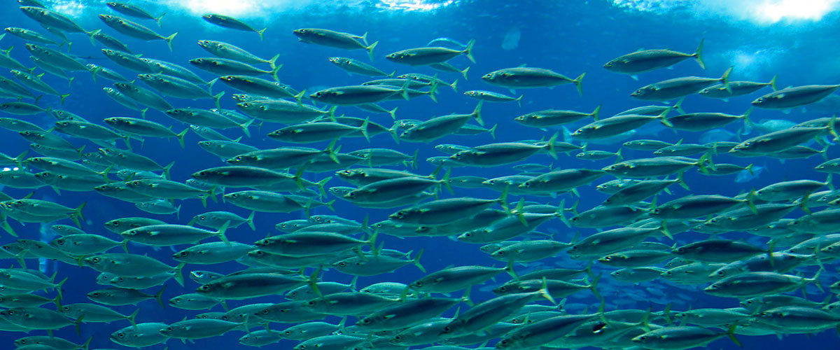 1poisson-de-mer